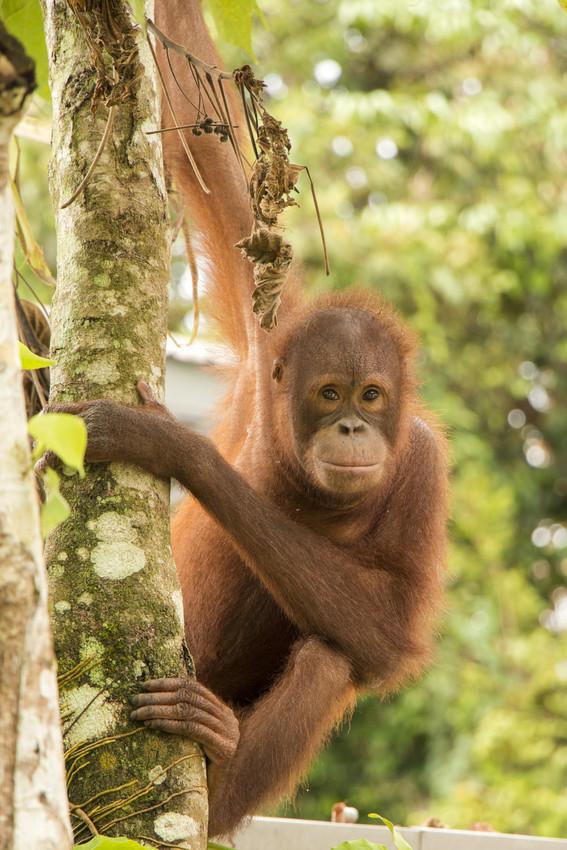 RS23848_Murphy-Ng_orangutan_7657-scr